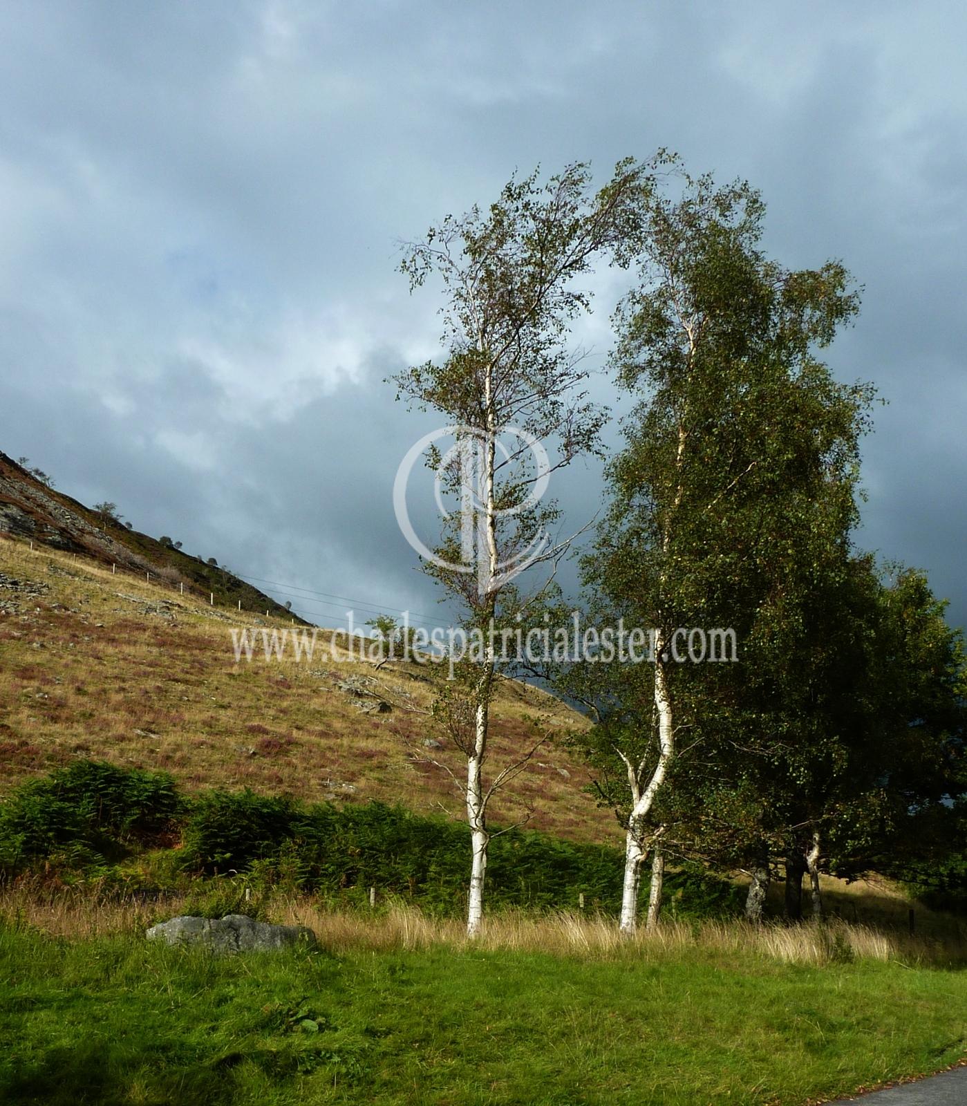 P1160771birch trees